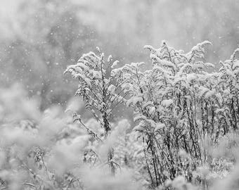 Winter Photography , Snow Photograph , Fine Art Print , Photo of Goldenrod , Botanical Picture , Wall Decor , Nature Photography