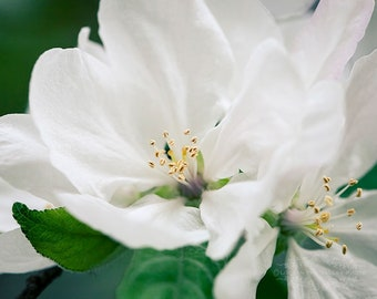 Spring Photography, Floral Print, Wall Decor, Apple Blossom Photo, Flower, Nature Picture, Fine Art Photograph, Dreamy, White, Green
