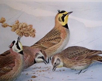 1915 Bird print to frame, Skylark, Pipit, Horned Lark by Louis Agassiz Fuertes