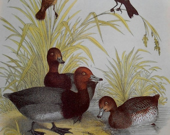 Duck color lithograph, Large Vintage Bird Print from Studer's Popular Ornithology, wall art