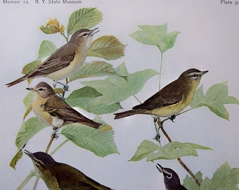 1915 Warbling Vireo, Red-Eyed Vireo, Antique Bird Illustration by Fuertes, From the original set, on heavy stock