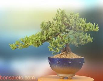 7+ Year Old Juniper Bonsai Tree in Handmade Blue Metallic Pot