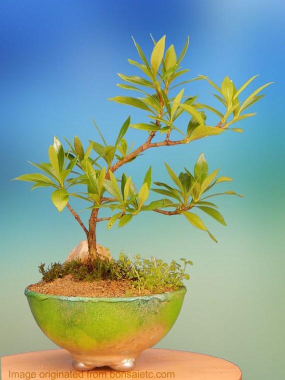 Indoor Flowering Gardenia Bonsai Tree Gift In Metallic | Etsy