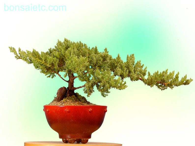 Bonsai Tree Sheet Music Bonsai Tree