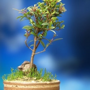 Bonsai & Trees