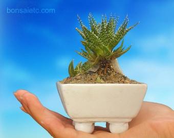 Miniature Baby Aloe Bonsai Flowering Plant