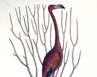 Pink Flamingo - Mark Catesby ~  1740 ~ Wildlife lithograph ~ Natural History of Carolina ~ Giclee Art Print - Nature Wall Art
