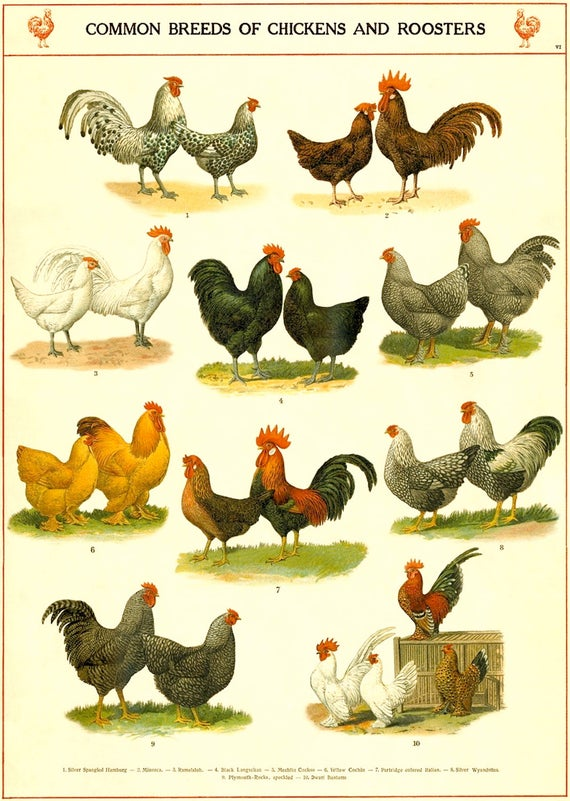 Chicken breeds chart vintage chicken art print kitchen etsy