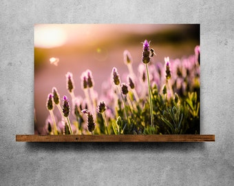 Lavender at sunset with bees — Fine Art Print, Canvas/Metal/Acrylic/Framed