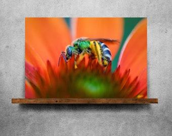 Green sweat bee on an orange flower — Fine Art Print, Canvas/Metal/Acrylic/Framed