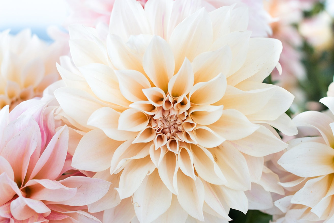 Flower Photograph Baby Pink And Cream Dahlia Cafe Au Lait Etsy