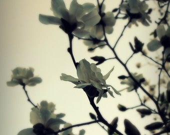 Magnolia photograph - A Few of My Favorite Things - 11 x 14 fine art color photographic print - ivory gray neutral tones