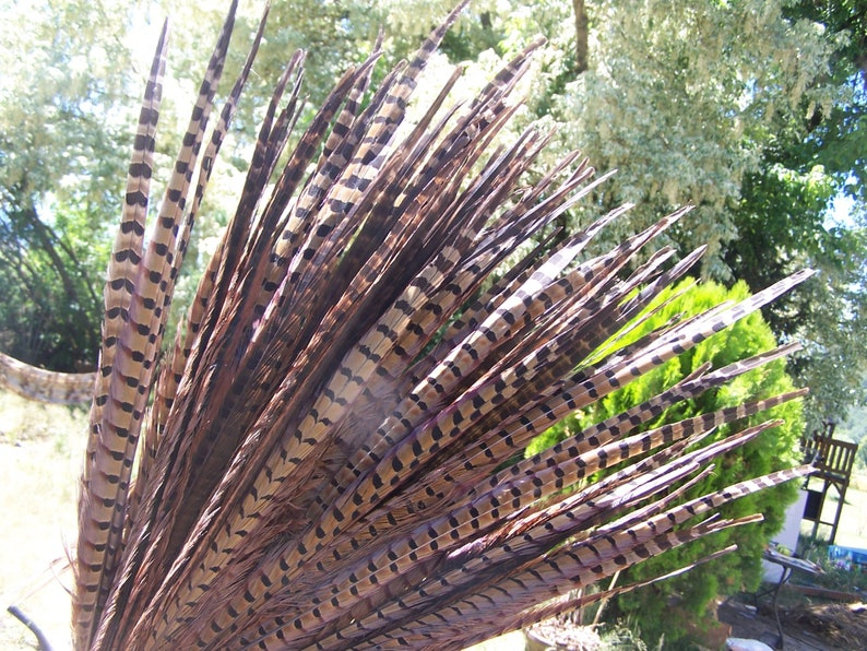 Pheasant feathers  tail  20 to 22 inch long large  brown image 0