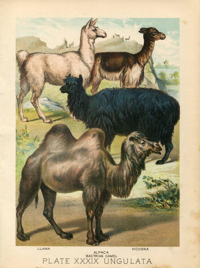san francisco 501b2 79cfc Stampe antiche di lama, vigogna, Alpaca, il libro della famiglia di Color  cammello Litografia 1880s Johnson della natura