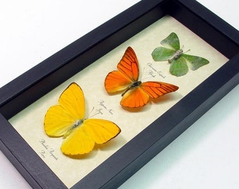 Lemon Lime and Orange Citrus Real Framed Butterfly Collection 7897