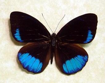 Framed Butterfly Real Eunica Sophonisba Metallic Blue 8058
