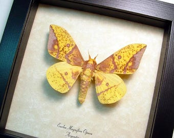Real Framed Eacles Magnifica Opaca Yellow Silk Moth 8465