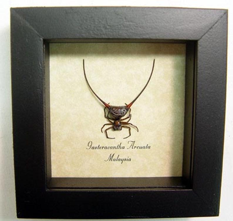 Real Strange Wishbone Spider Framed Insect 2140