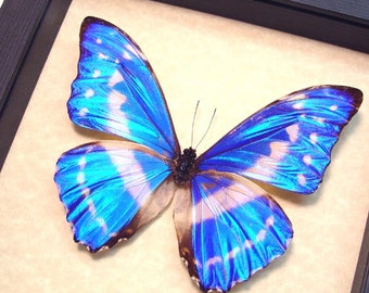 Real Framed Blue Morpho Cypris Butterfly Shadowbox Display 7741