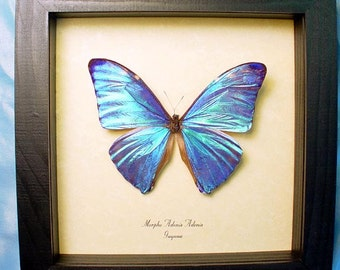 Real Framed Blue Morpho Adonis Butterfly Shadowbox Display 766