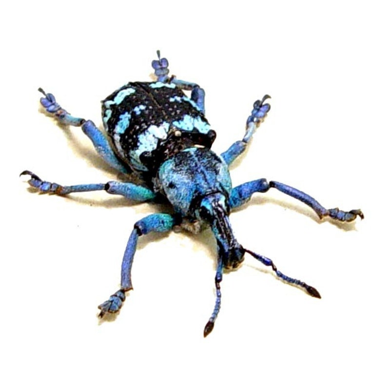 Real Blue Beetle Snout Weevil Framed Insect 7858