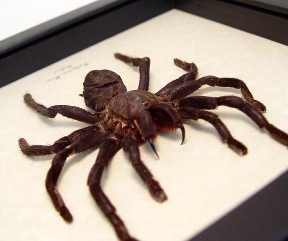 Haplopelma minax Tarantula Large Taxidermy REAL Insect