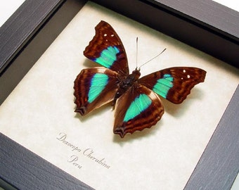 Mother's Day Gift Turquoise Emperor Real Framed Butterfly Display 305