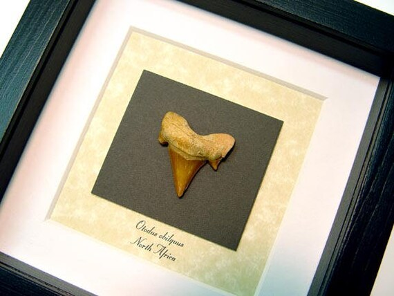 Real Framed Museum Collection otodus obliquus Fossilized Giant