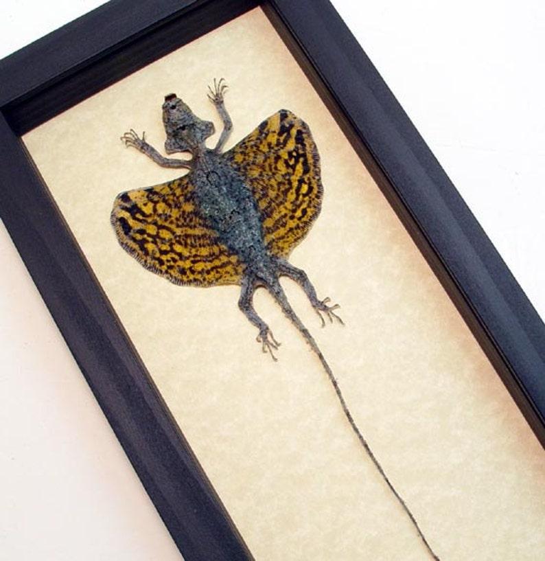 Real Draco Sp-Mottled Flying Lizard Display R1303