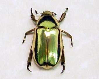REAL BEETLE Chrysina Resplendens LOOKS Like 24k Gold 2433