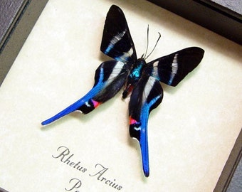 Mother's Day Gift Framed Butterfly Rhetus Arcius 354