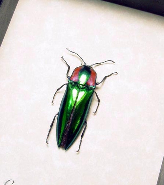 Real Framed Campsosternus Gemma Green and Red Click Beetle 8284