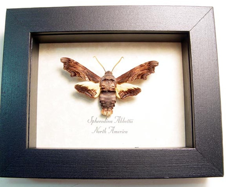 Real Framed Rare Sphecodina Abbottii Bumble Bee Moth 8438
