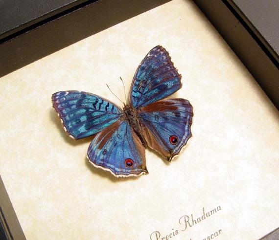 REAL FRAMED BUTTERFLY BLUE MADAGASCAR PRECIS RHADAMA BUCKEYE