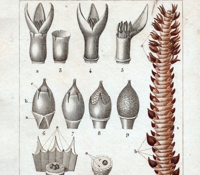 Antique Botanical Print of the African Palm 1829 Rare Hand-coloured Print