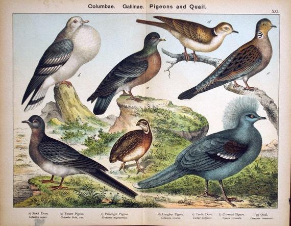 Antique Print of Doves, Pigeons, and Quail  -- Large Chromolithograph from 1889