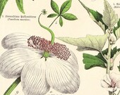 1890 BLUE PASSION FLOWER, MARSHMALLOW, GREATER MUSK MALLOW, BAOBAB TREE BLOSSOM, COTTON TREE, CRANSEBILL - SCHUBERT PLANTAE PRINT XXV - ORIGINAL GERMAN CHROMOLITHOGRAPH ART
