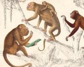 Circa 1850 Goldsmith Monkey Print (II) - original hand coloured engraving