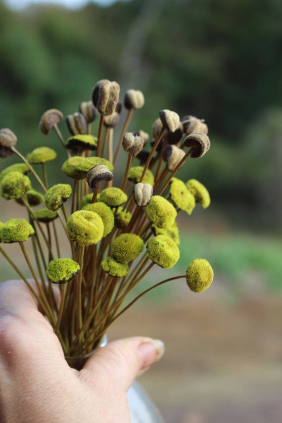 Lime Green Button flowers-30 dried button flower stalks-Corsage flowers-Wedding flowers