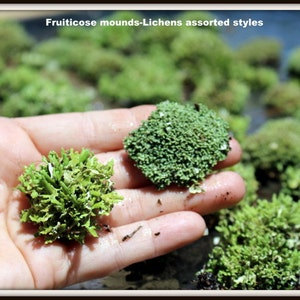 Reindeer Moss-1 Gallon Bag Full-Natural Live Moss-Shade Garden Ground Cover