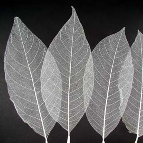 Magnolia leaves- 100  Bleached leaves-Skeletal leaves-Peepul Leaves-Gift wrapping-Party Favors-Wedding invitations