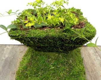 Gold Moss Sedum Plants-Ground cover plants-Drought resistant-15 cuttings