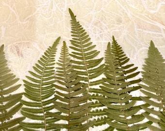 Large Green Fern Tips, Pressed Pteridium Aquilinum