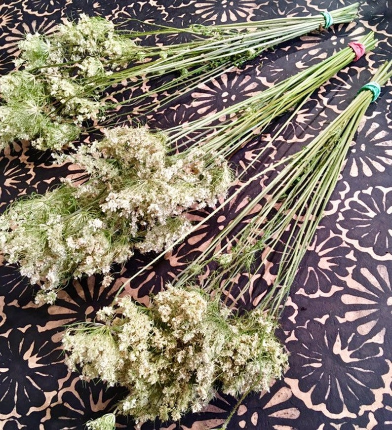 Dried Queen Anne's Lace 25 Long Stemmed Dried Bunches for image 0
