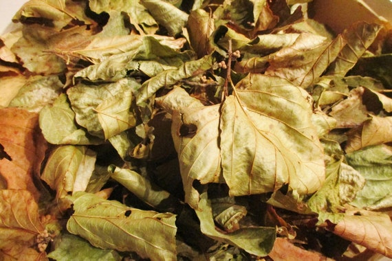 Witch Hazel Whole Dried Witch Hazel Leaf Hamamelis Etsy