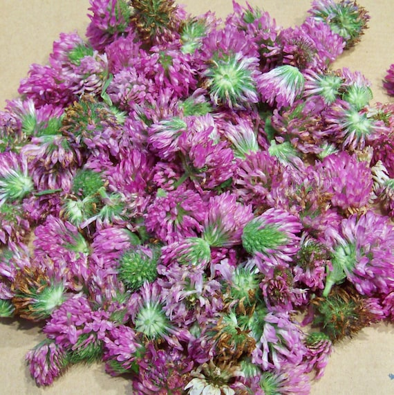 Red clover dried purple clover flowers one ounce organic nh etsy 50 mightylinksfo