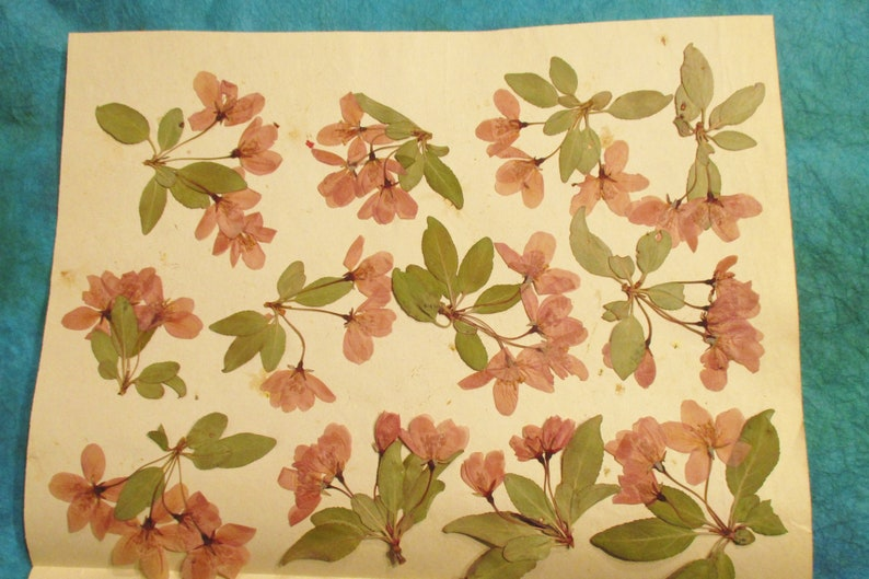 Pressed Crabapple Flowers Faded Pink Crabapple Blossoms and image 0