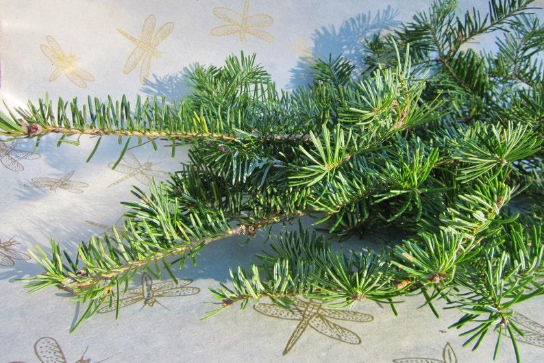 Balsam Fir Tips Fresh Eastern Fir Branches Bulk Balsam image 0