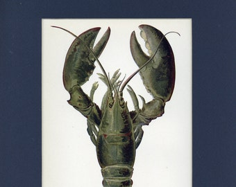 Natural History 1911 Antique Print of Marine Lobster