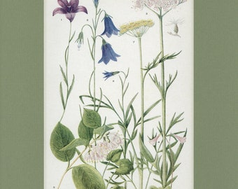 Botanical Flower Print of The Parsley, Honeysuckle, Bluebell and Valerian Family by Edith Schwartz Clements, from Vintage 1926 Book